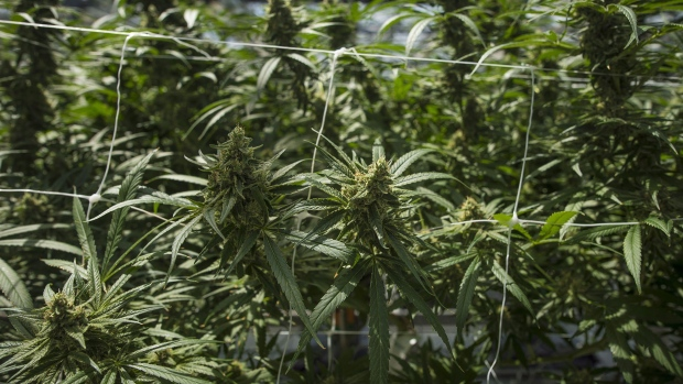 CannTrust Tumbles 22% as Canadian Regulators Seize Illegal Cannabis