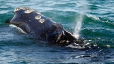 A North Atlantic right whale