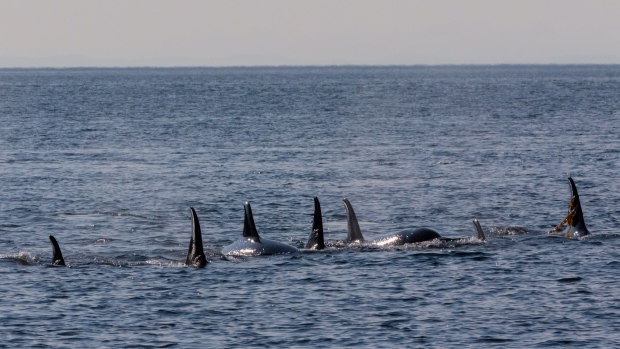 northern resident killer whales