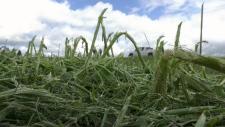 Hail storm ruins crops