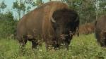 Saving bison from extinction