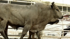 University, Calgary, Stampede, bulls, veterinary,