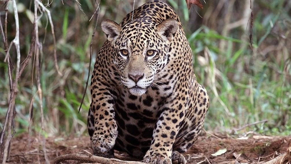 Dentist accused of killing 1000s of protected jaguars in Brazil