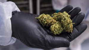 A man holds holds a handful of cannabis bud at the CannTrust Niagara Greenhouse Facility, in Fenwick, Ont., on June 26, 2018. THE CANADIAN PRESS/ Tijana Martin