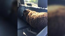 Sheep in police cruiser