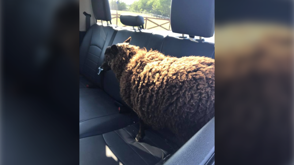 This photo was posted on the Kennebecasis Regional Police's Facebook page, showing one of the sheep in the back of the police cruiser. (Kennebecasis Regional Police / Facebook)