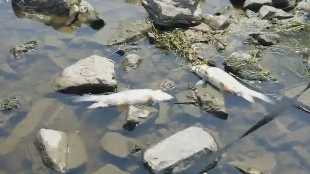 Dead fish wash ashore in Rockland