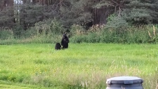 Bears fight in Port Coquitlam