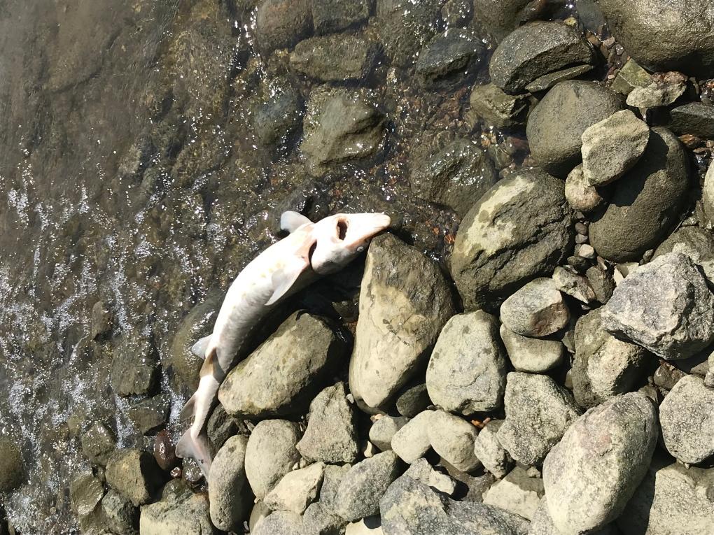 Dead sturgeon along shore of Ottawa River.