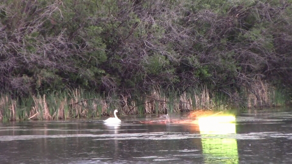 Charges laid in connection to an incident in which a family of Trumpeter Swans appeared to be shot at with a type of firework in Grande Prairie.