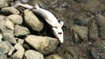 A dead fish washes up to shore from the Ottawa River. (Joanne Schnurr / CTV News Ottawa)