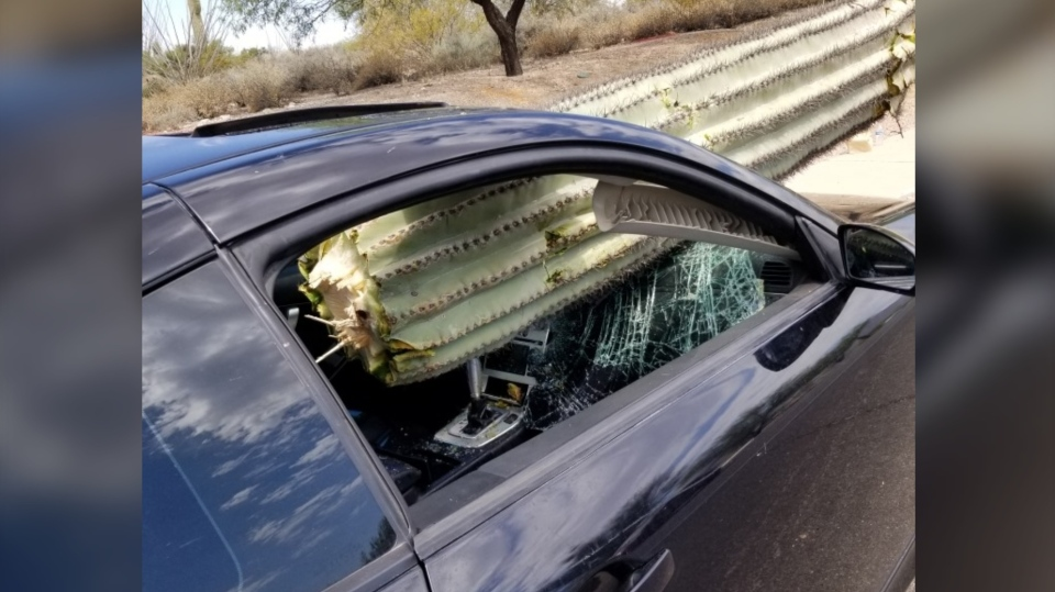 Pima County Sheriff's Department posted pictures of a saguaro cactus plant trunk impaled through a car's windshield. (Pima County Sheriff's Department via Storyful)