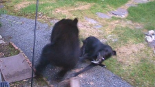 Pup attacks black bear poking around yard