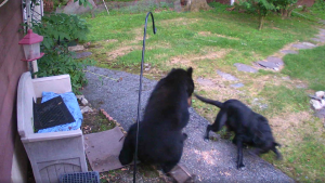 Video shows an 'awesome pup' bolt at a black bear who'd been pawing around a New Jersey home. (Mark Stinziano/Facebook via Storyful)
