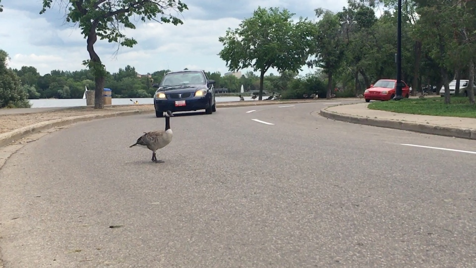 A goose stands in the road at Wascana Park. It proceeded to move out of the oncoming car's way. (Cole Davenport/CTV Regina)