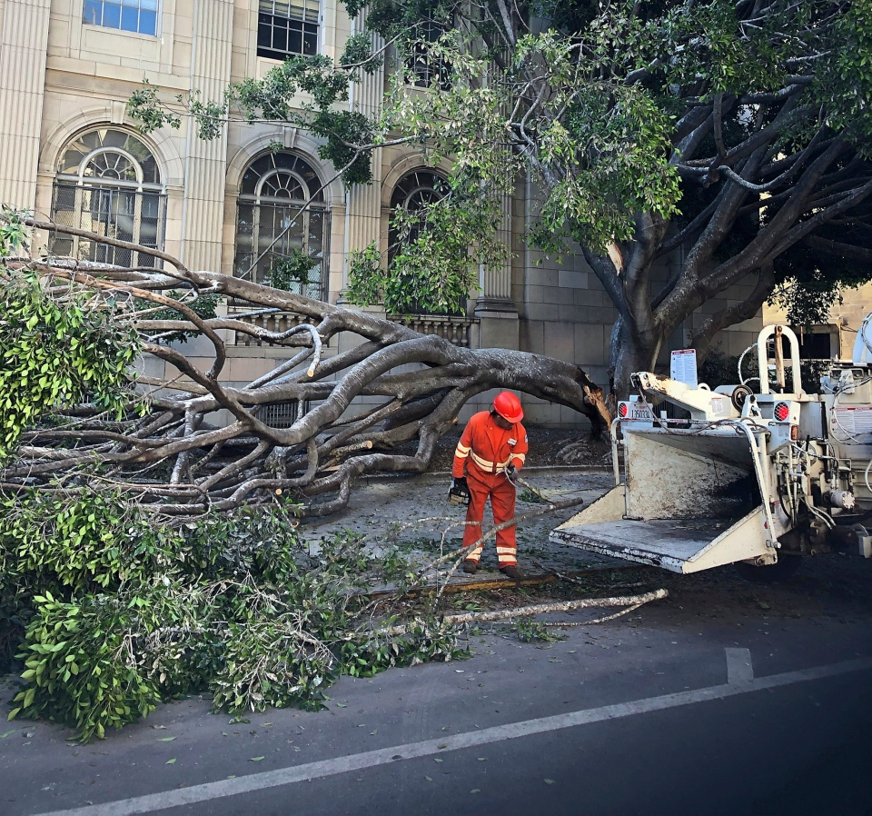 This Wednesday, July 10, 2019 photo provided by International Bird Rescue shows a large ficus tree after it split in Oakland, Calif., hurling over a dozen baby herons and egrets from their nests to the pavement. (International Bird Rescue via AP)