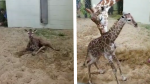 Giraffe timelapse