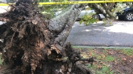 Massive tree falls onto car in West End