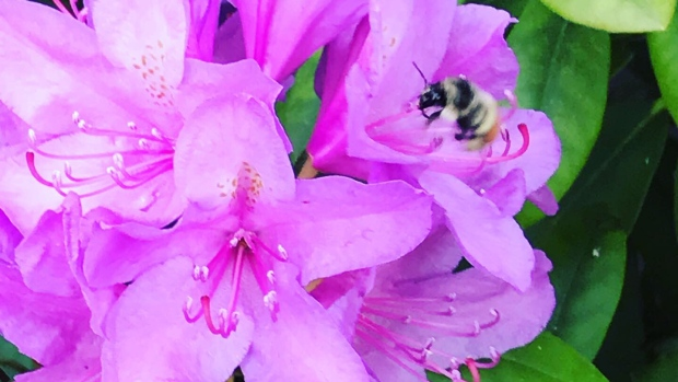 July 12, 2019: First bee sighting of the season (Photo:Dianne Hemming)