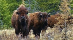 Bison are seen in Banff National Park in an undated handout photo. A herd of wild plains bison, which was reintroduced in the park in 2017, have been free to roam in 1,200 square kilometres of backcountry on its northeast side for the past year. (THE CANADIAN PRESS / HO-Parks Canada, Adam Zier-Vogel)