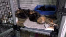 The two adult cats and nine kittens were placed in a large box, which was taped shut, and abandoned in the community garden across from the Vancouver Pound. (CTV)