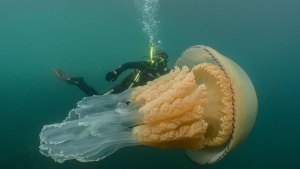 Biologist and wildlife presenter Lizzie Daly was photographed swimming alongside a giant barrel jellyfish in the waters of Falmouth off the coast of Cornwall in southwest England. (July 2019/Dan Abbott)