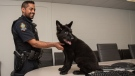 Maya is being trained by her imprinter, Const. Sarb Singh in this submitted photo.