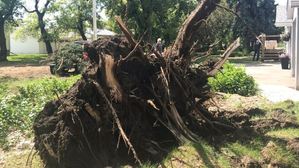 Trees have been uprooted in Balcarres after an intense storm ripped through the town. (Cally Stephanow / CTV Regina).