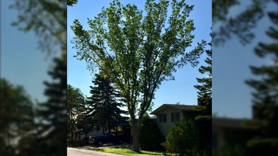This tree in the 200 block of Lincoln Dr. is infected with Dutch elm disease and will be cut down on Tuesday. (Gareth Dillistone / CTV Regina).