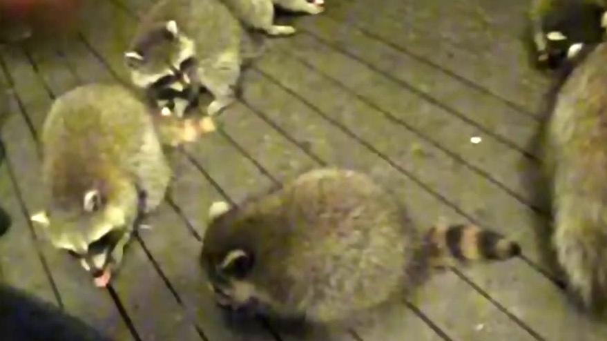 North Saanich residents upset over neighbour's raccoon feeding habit