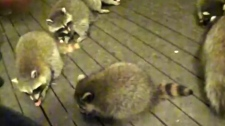 Residents complain of raccoon-feeding neighbour