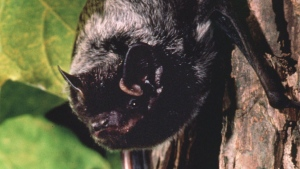 This is an undated photo of a silver-haired bat, the species most often associated with human rabies. (AP Photo/Merlin D. Tuttle, Bat Conservation International)