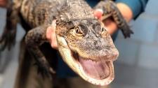 Chicago alligator