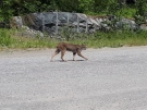 ONLINE EXCLUSIVE: Video from Stacy Moore of a lynx on Secord Road in Estaire, south of Sudbury.
