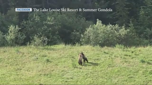 Cubs captured on camera playing under gondola at Lake Louise