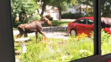 Caught on cam: Moose on the loose in Saskatoon