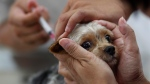 A dog owner gets her pet vaccinated for rabies at a government clinic in Taipei, Taiwan, Thursday, Aug. 1, 2013. (AP Photo/Wally Santana)