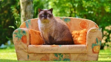 A Himalayan cat sits on a sofa. A new study involving more than 19 million cats from across Canada and the United States suggests most of the animals continue to put on weight after they reach adulthood, and their heaviest weight is higher now than it was two decades ago.(Pixabay/Pexels)