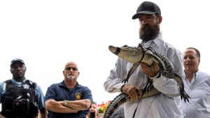 Florida alligator expert Frank Robb holds an alligator during a news conference, Tuesday, July 16, 2019, in Chicago. (AP / Amr Alfiky)