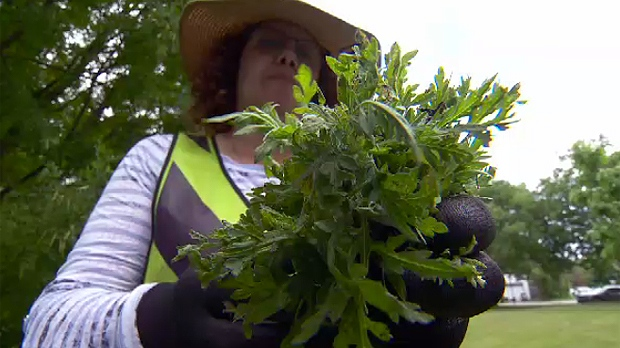 Workers and volunteers in Montreal have been removing ragweed from public and private land.