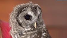 Grouse Mountain owl