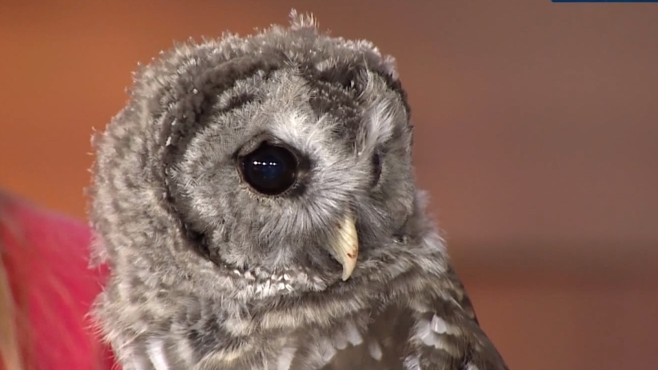 A three-month-old barred owl is one Grouse Mountains new ambassadors that needs a name.