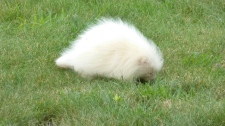 In this Tuesday, July 16, 2017 photo taken provided by the Seashore Trolley Museum, a rare albino porcupine waddles around near the Seashore Trolley Museum in Kennebunkport, Maine. (Fred Hessler/Seashore Trolley Museum via AP)