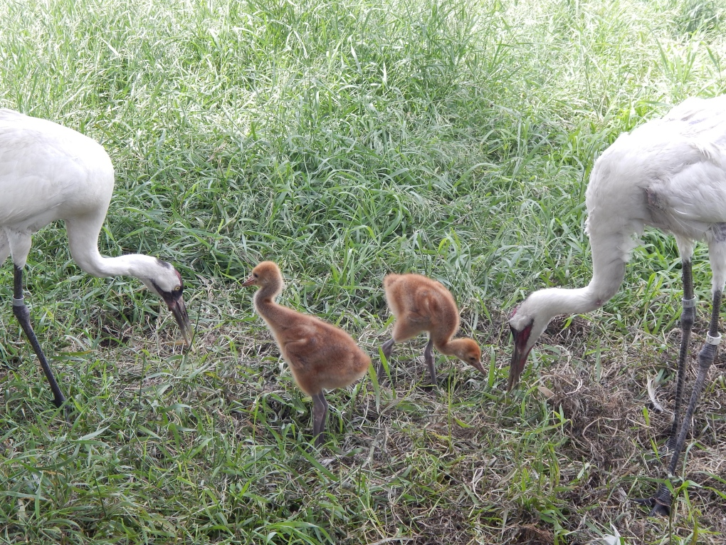 The Calgary Zoo released a pair of young whooping cranes into the wild Tuesday