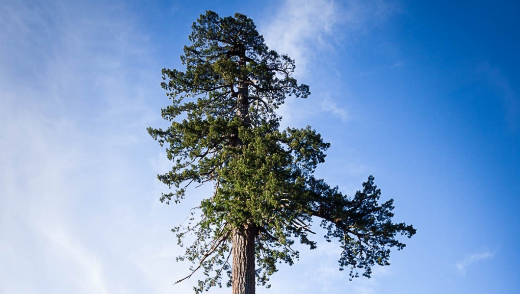 B.C.'s oldest trees being saved