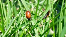 Thousands of ladybugs were released into Victoria Park on Thursday morning.