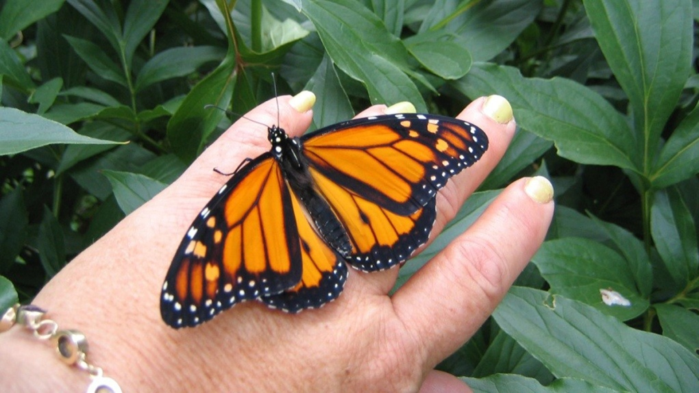 Monarch butterfly going into chrysalis caught on camera