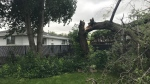 A tree was downed after a storm on Wednesday night. (Brandon Lynch/CTV News Edmonton)