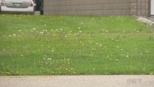 Lawn full of dandelions (Tony Ryma/CTV Northern Ontario)
