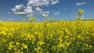 Canola is pictured in this file photo